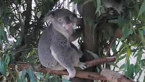 Koala rockero