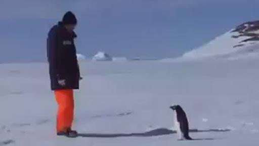 Pinguino agresivo