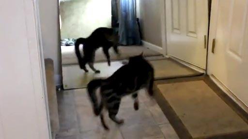 Gato Vs espejo