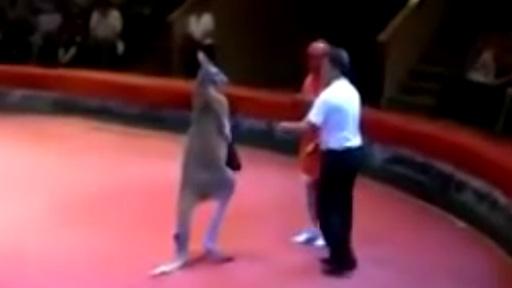 Canguro vs humano