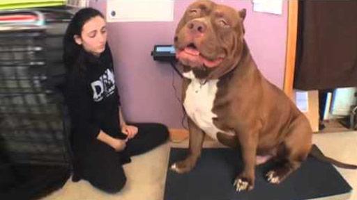 El pitbull más grande
