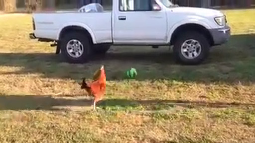 Gallo futbolista