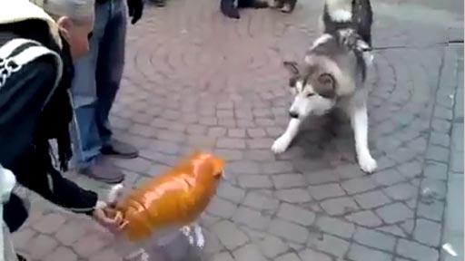 Husky Vs gato volador inflable