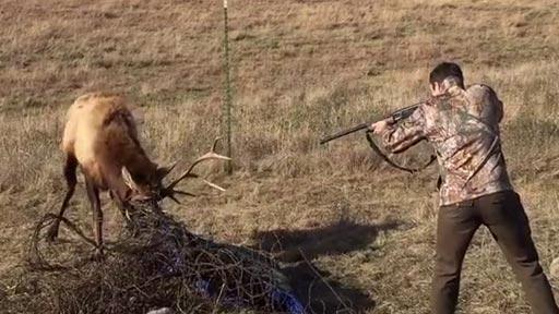 Un ciervo atrapado en alambres y un cazador experto