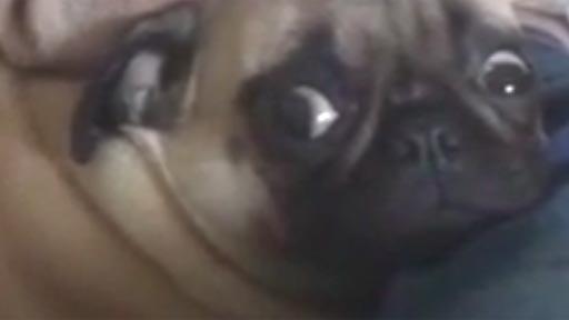 Un Pug algo agobiado
