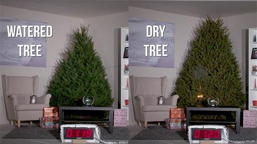 Árbol de navidad regado Vs seco