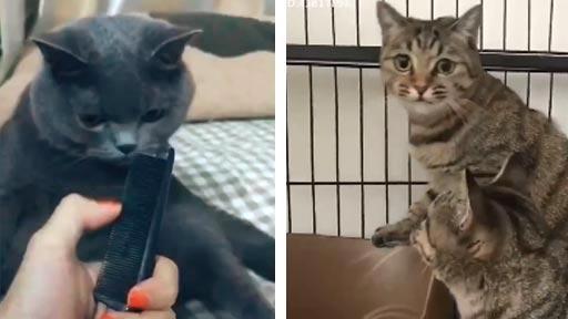 Los gatos y el sonido de un peine